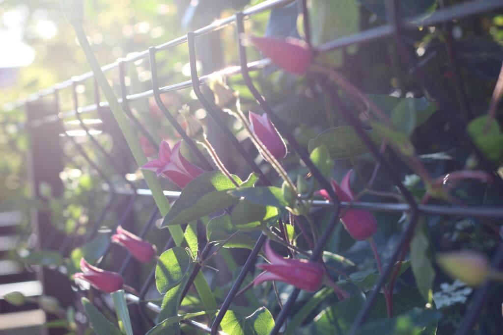 フェンスに這わせたプリンセスダイアナ