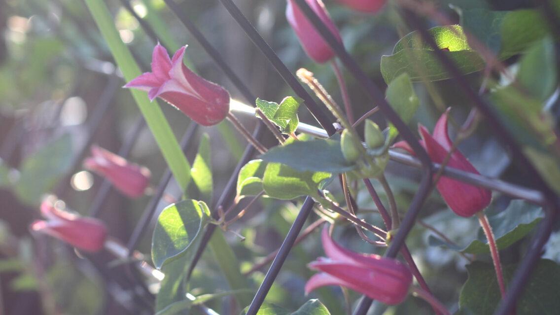 フェンスに咲かせたプリンセスダイアナ