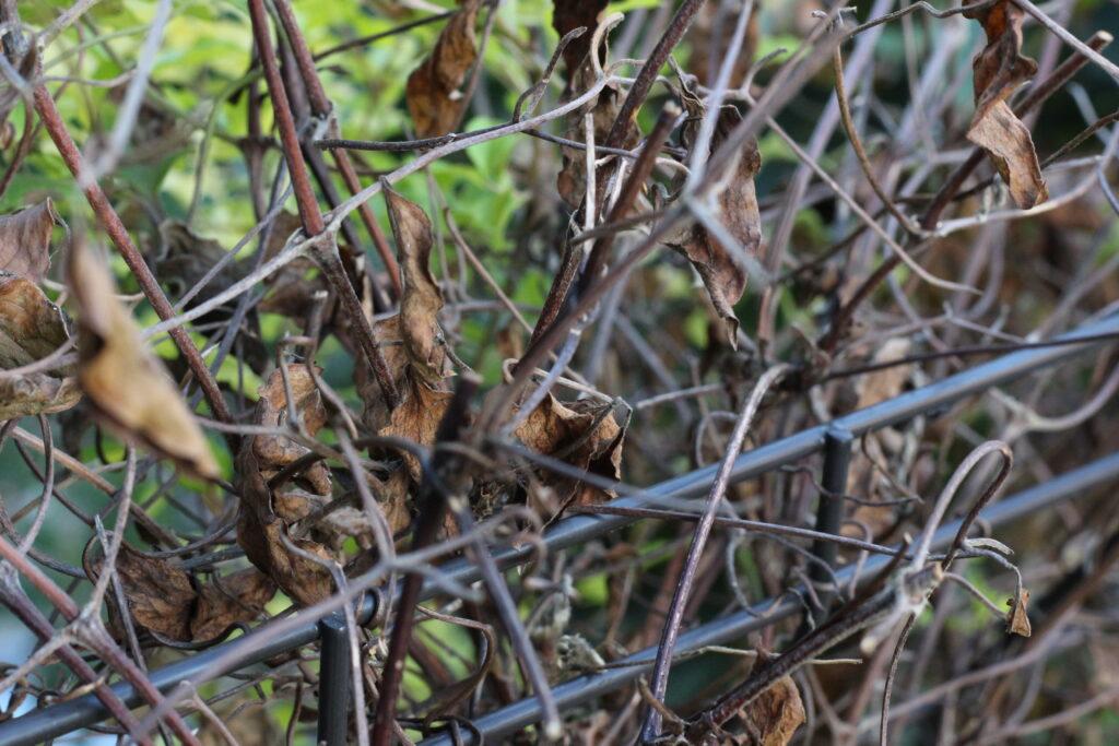枯れたクレマチスの枝