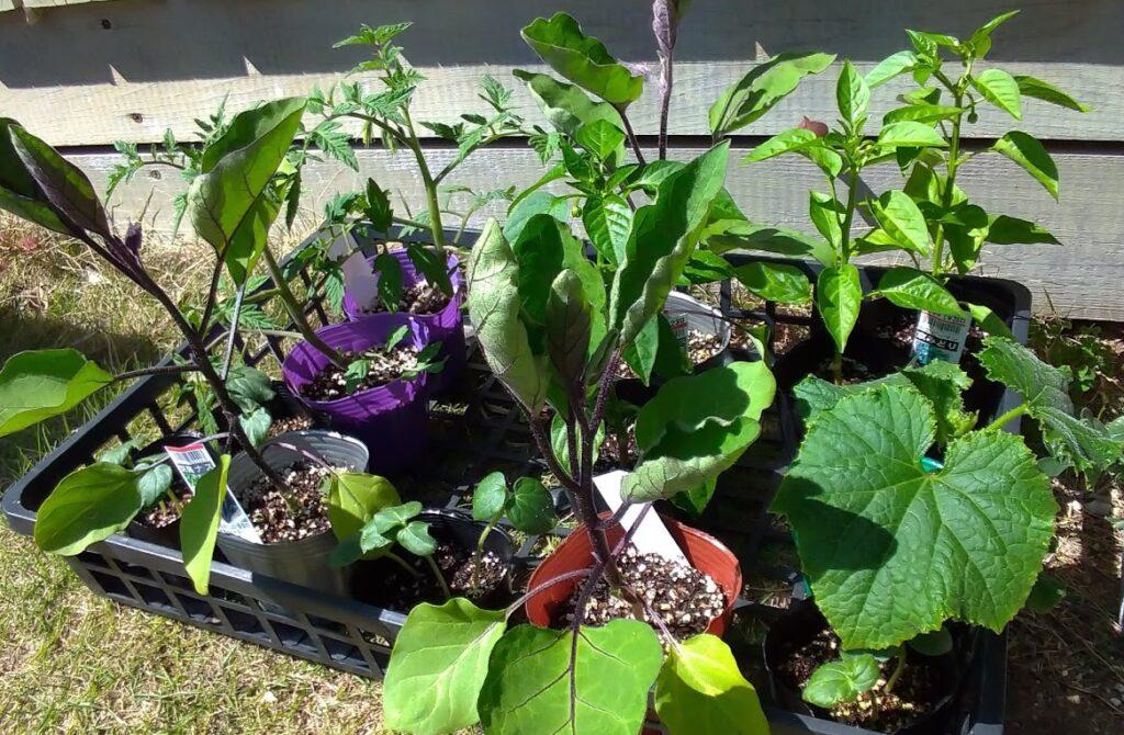 野菜の苗たち
