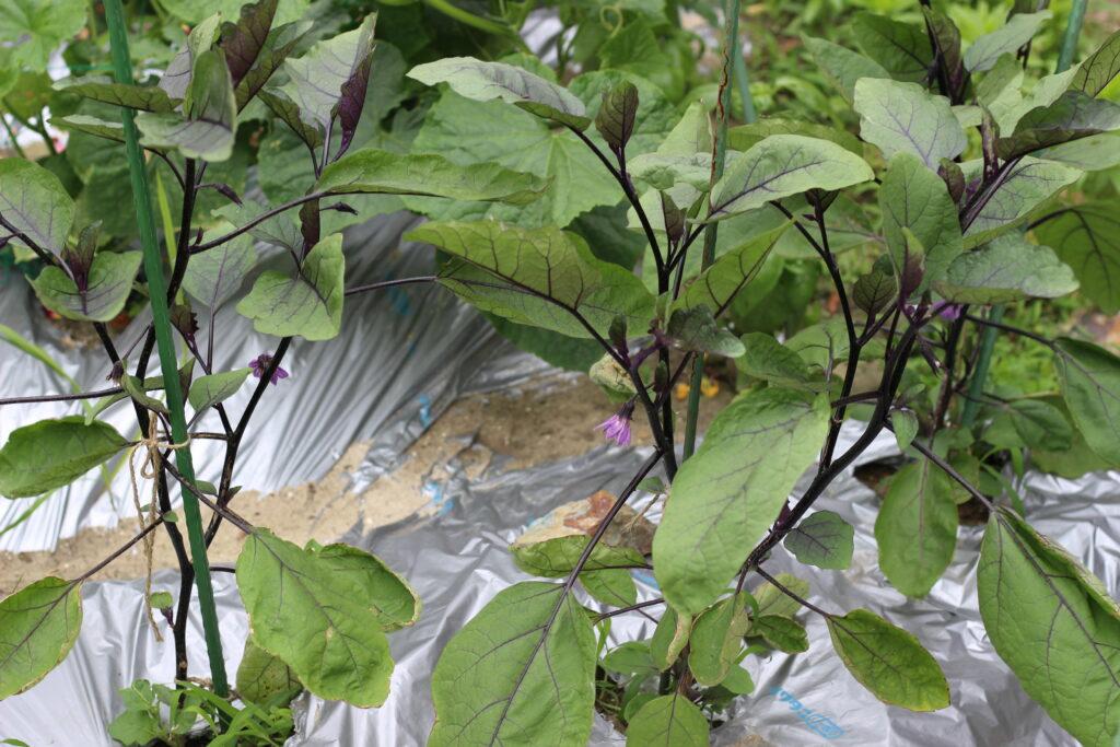 庭植えナスの生育