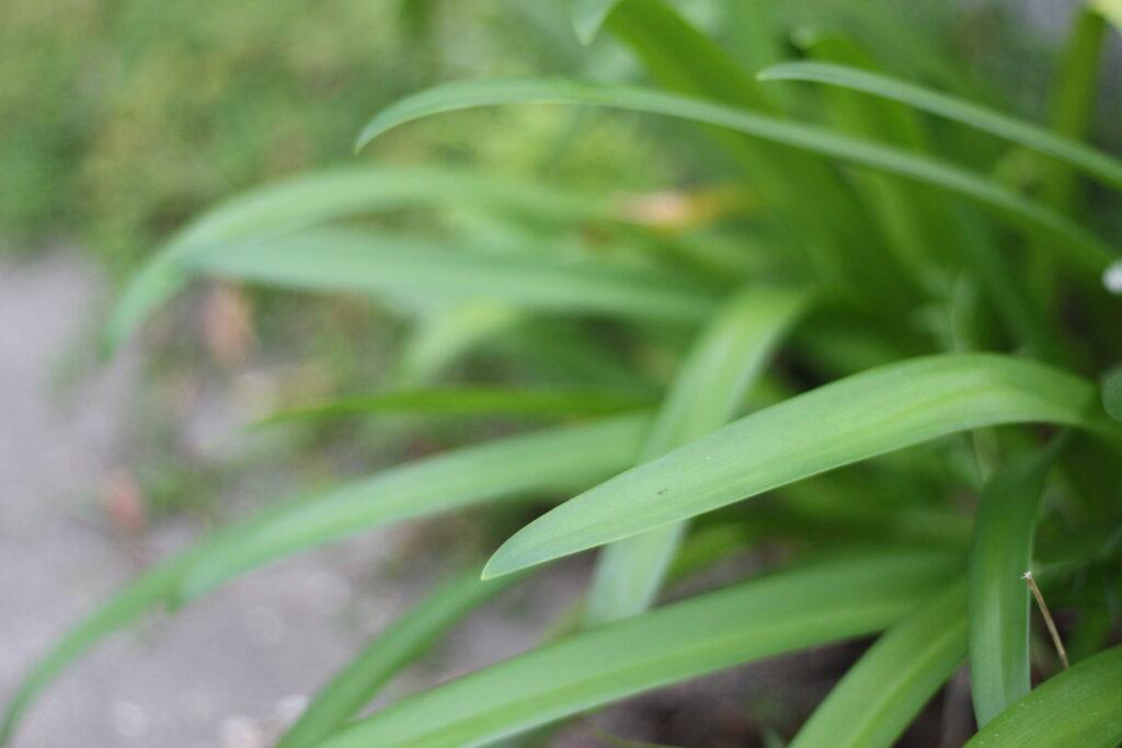 アガパンサスの葉っぱ