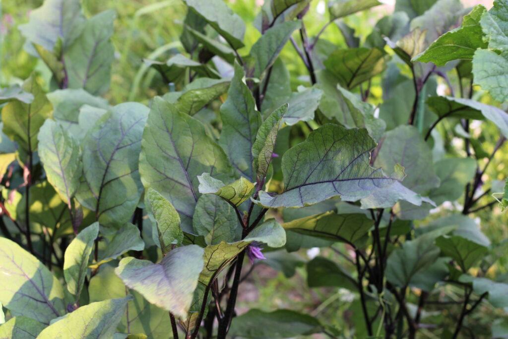 家庭菜園の野菜の株たち