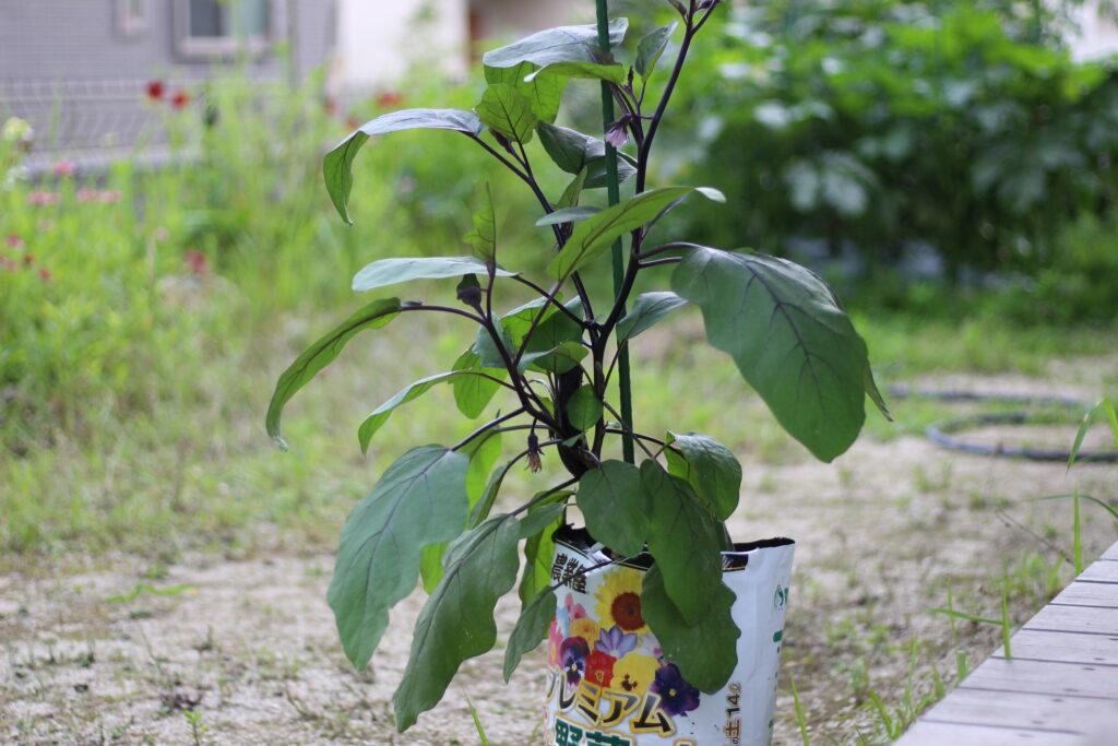 袋栽培での家庭菜園